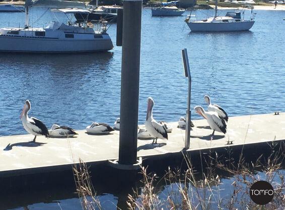 Wharf-pelicans-yamba-Tomfo