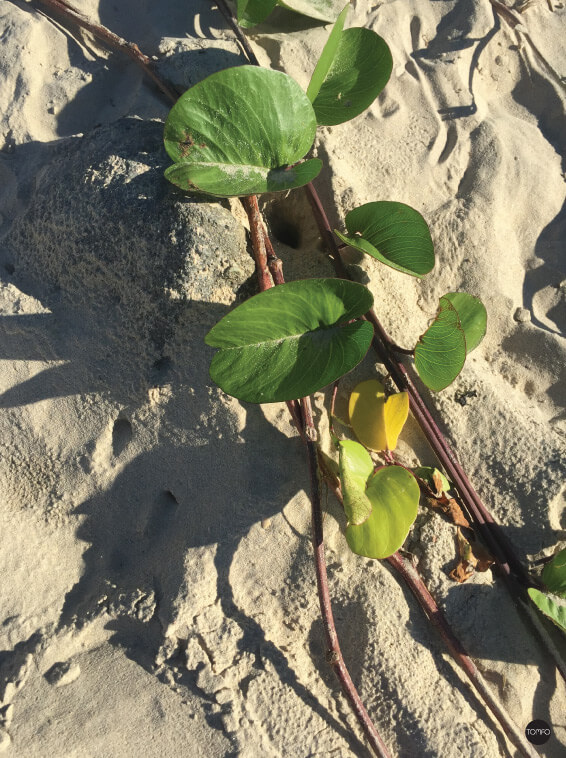 TOMFO-Beach-vine